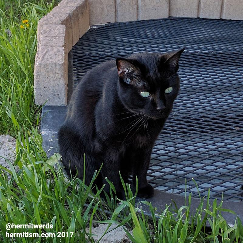 Midnight - Hermit Werds - my black cat